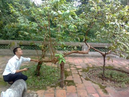 """Quái lạ những cây ổi cứ gãi là """"cười"""" ở Thanh Hóa"""
