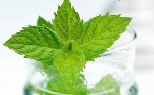 Các loại cây họ bạc hà rất tốt cho các loại bệnh đường ruột. Ảnh: bqld