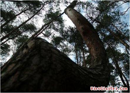 """Bí ẩn """"khu rừng quanh co"""" tại Ba Lan"""